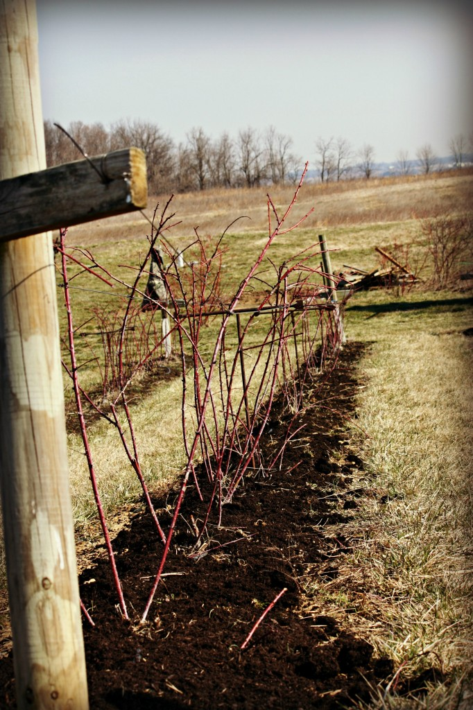 This is what the field looks like now. It is amazing to think these little red sticks will fill out and grow into big, full black raspberry bushes.