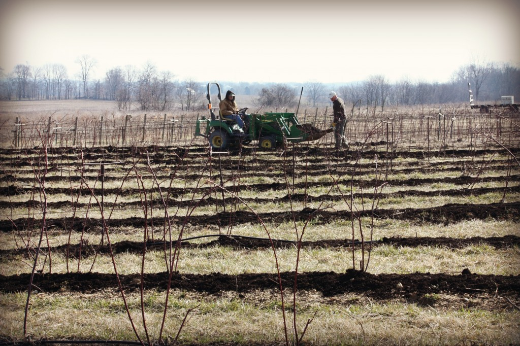 John and Chuck are using the tractor to bring the mulch to each row of berry plants.