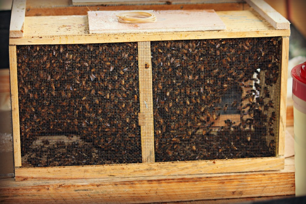 This is how the bees come from the supplier.  They have a can of sugar water inside the closed box and a queen in its own special cage inside.